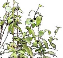 henna plant, artist's sketch of henna shrub