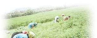 indigo field