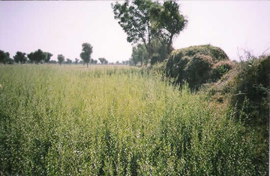 Indian henna growing in field