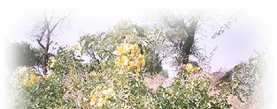 Cassia Obovata Botanical Hair Conditioner Plant Bush
