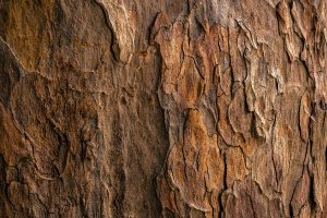 oakwood powder tree bark