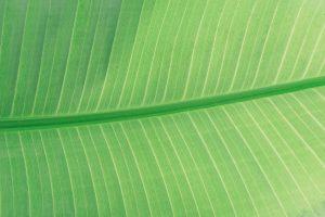 organic black hair dye, plant leaf