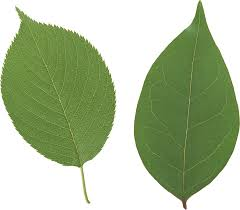 plant hair colour galleries, picture of two green leaves
