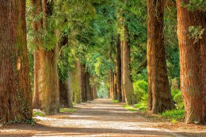 Natural Hair Dyes from Plants, Picture of Forest, Tree Lined Avenue